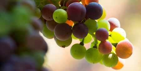 changing color: Grapes changing color during veraison, Bordeaux Wineyard Stock Photo