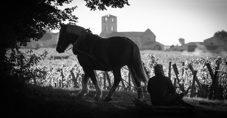 Harvest Vineyard with a draft horse-Saint-Emilion-France, Europe Stock Photo