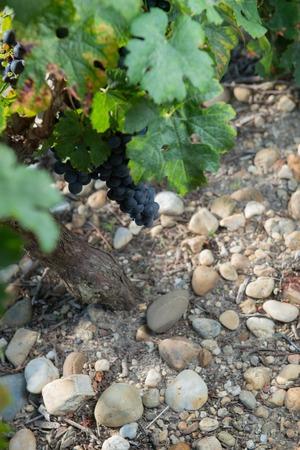 Closeup on Fresh Grapes on the Vine, France Reklamní fotografie