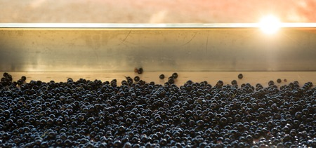 concord grape: Grape harvest, red grape bay on the sorting table, France