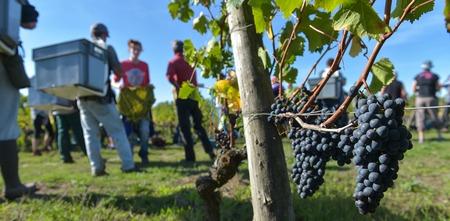 Workers in vineyards, Grape Harvest, Saint Emilion, Bordeaux, France 写真素材