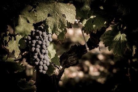 Closeup on Fresh Grapes on the Vine, France Stock Photo