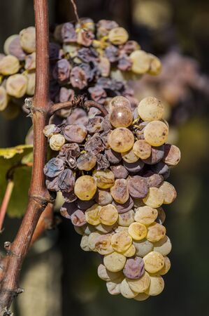 Noble rot of a wine grape, grapes with mold, Botrytis, Sauternes, France