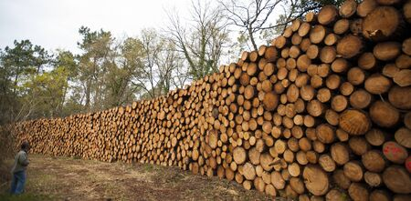 Pine logs in the forest, Firewood as a renewable energy source, France