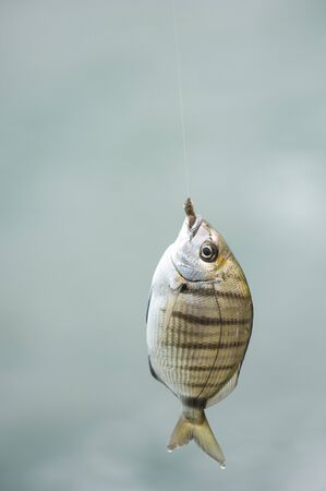 Fish at the end of the line of the fishermans cane, France Stock Photo