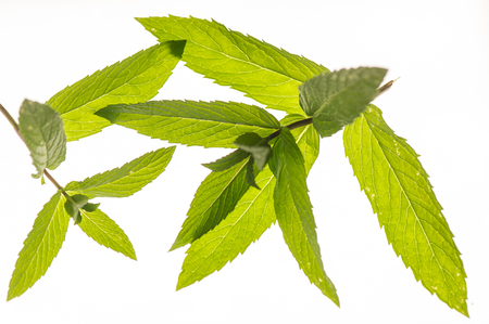 Fresh mint close up on white background, Food Stock Photo