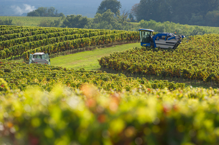 choise: Mechanical harvesting of grapes in the vineyard