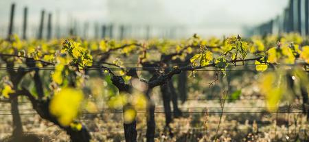wine road: First spring leaves on a trellised vine growing in vineyard