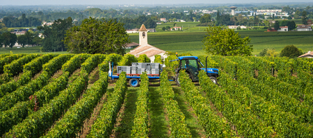 Harvesting red grapes in vineyards of Saint Emilion, Bordeaux, France