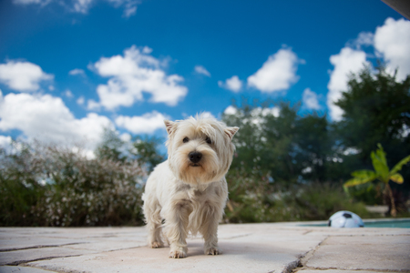 Portrait of a happy maltese dog with cut hair for summer in a garden, France