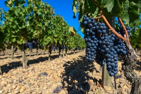 Grapes in Bordeaux Vineyard, France