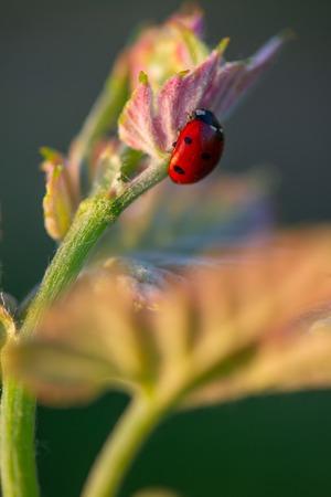 Macro of a Red Ladybug in vineyard on green wine leaf defocused background, France