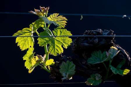New bug and leaves sprouting at the beginning of spring on a trellised vine growing in bordeaux vineyard 写真素材