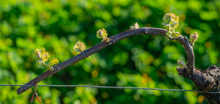 New bug and leaves sprouting at the beginning of spring on a trellised vine growing in bordeaux vineyard Stock Photo