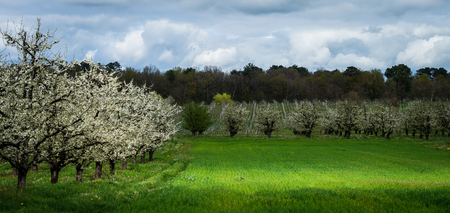 Abundant spring blossom in manicured plum tree orchards near Villeneuve-sur-Lot, Lot-et-Garonne, France. The area around Agen in South West France is well known for plum production.
