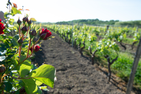 Red roses and wood post with vines in Bordeaux vineyard. New grape buds and young leafs in spring growing with roses in Saint Emilion vineyard