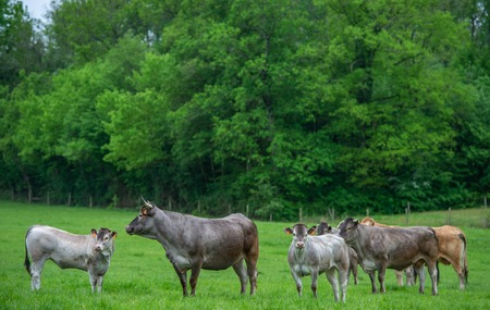 Bazadaise cows and calves daisy in the meadow Stockfoto