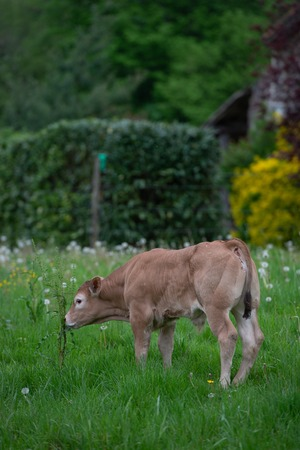 Bazadaise cows and calves daisy in the meadow, Gironde, France Stockfoto - 105393262
