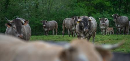 Bazas beef, Bazadaise cows and calves daisy in the meadow, Gironde, France
