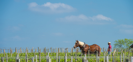 Labour Vineyard with a draft horse, Saint-Emilion-France, Europe Stock Photo - 105360833