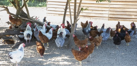 Free range chicken on a traditional poultry farm, France