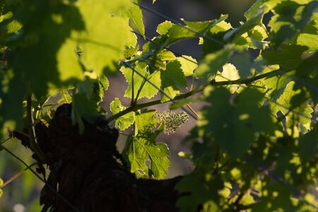 Bordeaux vineyard, Young bunches of grapes in bloom, Macro Stock Photo