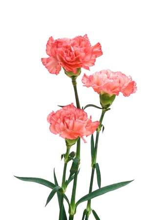 three carnation