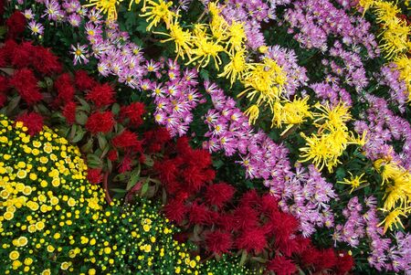 color strips, chrysanthemum flowers photo