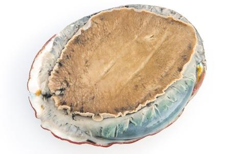 giant size raw abalone on white background
