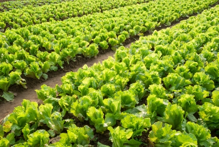monoculture: Rows of planted lettuce