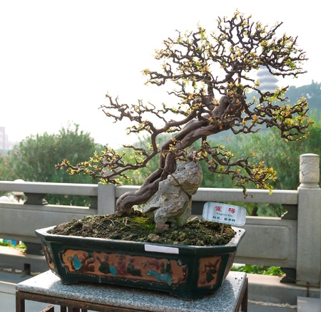 bonsai tree in a Chinese park photo
