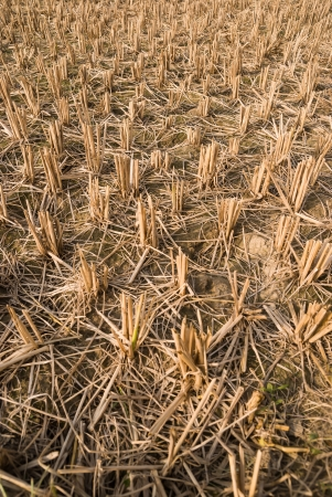 paddy field: paddy field after harvested Stock Photo