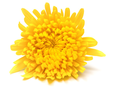 yellow chrysanthemum flower on a white background