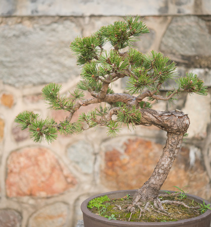 bonsai tree: bonsai tree in flower pot