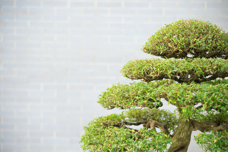 ornamental horticulture: bonsai tree with copy space