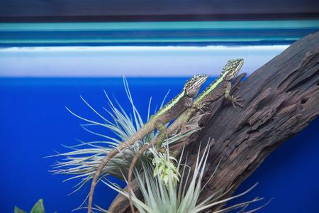 desert lizard: two lizard in an aquarium