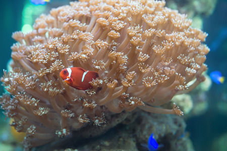 chaetodon: Red Clown playing in coral Stock Photo