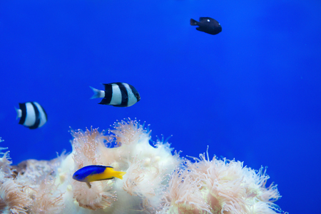 photosynthetic: tropical fishes and white coral in aquarium