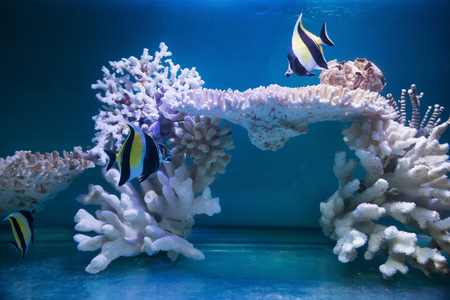 chaetodon: tropical fishes and white coral in aquarium