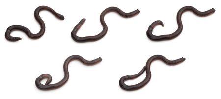 lombriz de tierra: fotos de grupo de rastreo de lombrices en blanco Foto de archivo