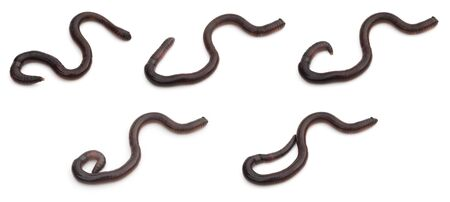 earthworm: group pictures of earthworm crawling on white Stock Photo