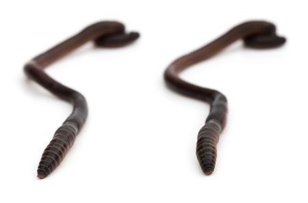 wiggler: two pictures of earthworm crawling on white