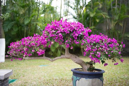 Bonsai-Baum mit lila Blüten im Blumentopf