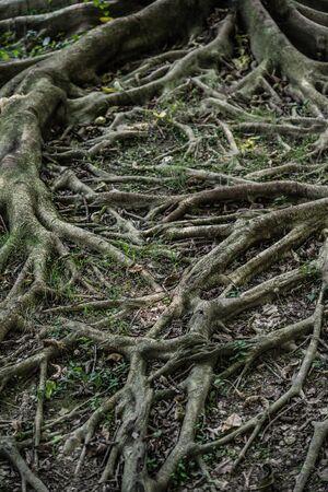centenarian: tree root vertical