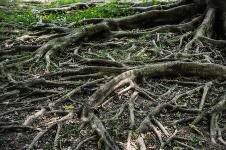 centenarian: tree root horizontal
