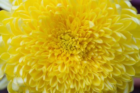 beautiful yellow chrysanthemum flower horizontal Stock Photo