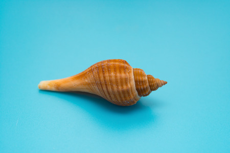 conch shell on a blue background Stock Photo
