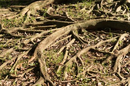 centenarian: tree root with sunshine Stock Photo