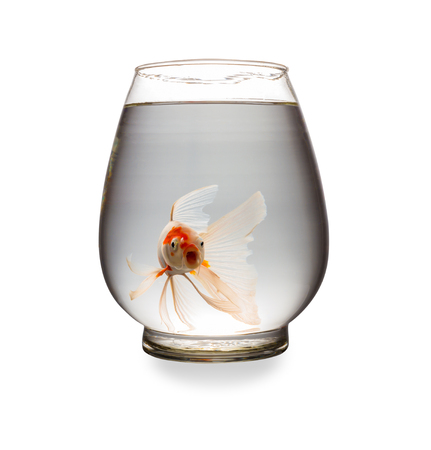 orange Koi carp looking at camera with mouth opened in a glass tank on white