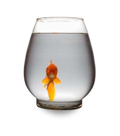 red Koi looking at camera in a glass tank on white